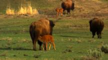 Bison Cow Nurses Calf As Herd Walks Away - Medium