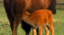 Bison Cow Nurses Calf Then Walks Away, Calf Trots After - Medium/Tight