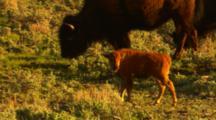 Bison Calf Walks Along With Herd - Medium