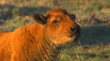 Bison Calf Lays In Green Grass - Tight