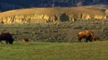 Bison Cows And Calves In Green Meadow -Wide