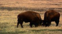 Young Bison Butt Heads
