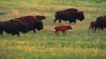 Bison Calves Play In The Midst Of Herd - Wide