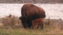 Bison Cow With Just Born Calf Struggling To Take Its First Steps