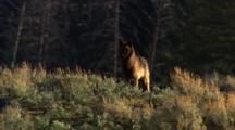 Black Wolf Stands On Ridge In Sage Brush - Medium