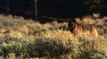 Black Wolf Stands In Sage, Leaves Frame - Medium