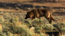 Black Wolf Walks Through Sage, Stops - Medium