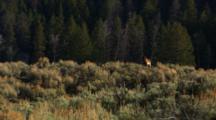 Black Wolf Stands On Ridge In Sage Brush - Wide