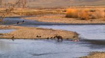 Black Wolf Trots Away From Carcass In River, Ravens Fly To Carcass -Wide