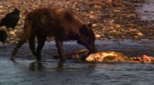 Black Wolf Eats From Elk Carcass In River - Medium/Tight