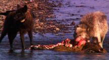 Black Wolf Walks Over To Elk Carcass In River And Feeds Next To Gray Wolf - Medium/Tight