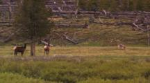 Two Cow Elk Watch Wolves Play - Wide
