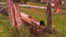 Black Bear Cub On Large Log - Wide