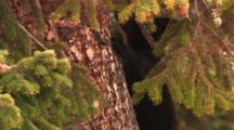 Black Bear Cub Climbs Up Tree, Leaves Frame - Tight