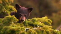 Black Bear Cub Sits On Pine Tree Branch, Climbs Around - Tight