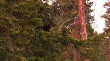 Black Bear Cub Sits On Pine Tree Branch High In Tree - Wide
