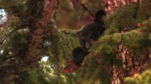 Black Bear Cub Sits High In Tree, Medium/Tight