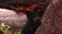 Black Bear Cub Stands Up On Base Of Tree And Looks Up - Tight
