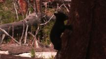Black Bear Cub Climbs Down Tree And Walks Away - Medium