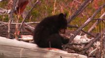Black Bear Cubs Climb On Fallen Tree - Tight