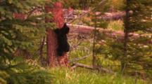 Black Bear Cub Climbs Down Tree, Runs Over To Its Mother - Tight