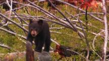 Black Bear Cub Sits And Walks On Fallen Tree -Medium