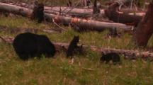 Black Bear And Cubs In Meadow Surrounded By Fallen Trees