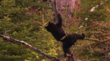 Black Bear Cub Plays On And Climbs Down Branch, Walks On Fallen Tree - Medium