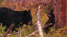 Black Bear And Cubs In Douglas Fir Forest