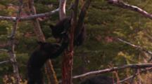 Two Black Bear Cubs Play On Fallen Tree, One Cub Hangs From Branch - Medium