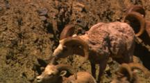 Bighorn Sheep Feed On Steep Slope - Medium