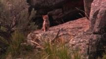 Two Coyote Pups Outside Of Their Den - Medium