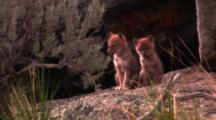 Two Coyote Pups Sit Outside Of Their Den - Tight