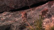 Two Coyote Pups Walk Up Steep Rock Slab - Medium