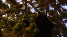 Black Bear Cub In The Top Of A Whitebark Pine Tree Pulls A Cone Off A Branch - Tight