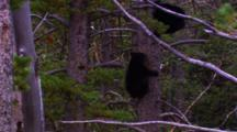 Two Black Bear Cubs Climb In Whitebark Pine Tree - Wide
