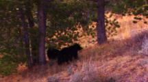 Two Black Bear Cubs Stands At Base Of Whitebark Pine Tree And Collect Cones That Fall On The Ground As Their Mother Knocks Them Out Of The Top Of The Tree, One Cub Runs To Catch Cone Bouncing Away And Scares Its Sibling Up A Tree - Medium