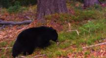 Black Bear Cub On The Forest Floor Eats Whitebark Pine Seeds When A Pine Cone Its Mother Knocked Out Of A Tree Top Hits It, Scaring It Away.  Its Sibling Runs In To Grab The Cone - Medium