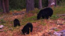 Black Bear And Two Cubs Eat Whitebark Pine Seeds Off Of Forest Floor - Wide