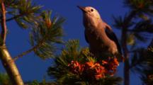 Clark's Nutcracker Collects Whitebark Pine Seeds From Cone - Medium/Tight
