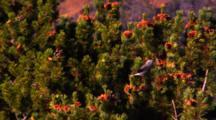 Clark's Nutcracker Collects Whitebark Pine Seeds From Cone - Medium/Wide
