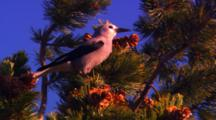 Clark's Nutcracker Collects Whitebark Pine Seeds From Cone At The Top Of A Whitebark Pine Tree - Tight
