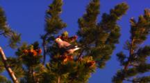 Clark's Nutcracker Collects Whitebark Pine Seeds From Cone At The Top Of A Whitebark Pine Tree - Medium