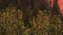 Clark's Nutcracker Collects Pine Seeds From Cone At The Top Of A Whitebark Pine Tree - Wide