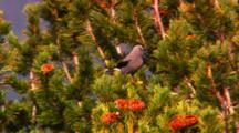 Clark's Nutcracker Collects Pine Seeds From Cone At The Top Of A Whitebark Pine Tree, Flies Off - Medium