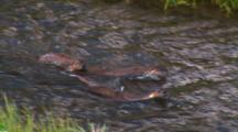 Mother River Otter With Two Pups Swims Down A Stream - Medium