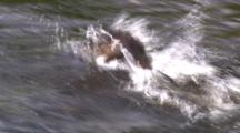 River Otter Chases Cutthroat Trout Through Shallow Stream - Tight