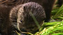 River Otter Pup Grooms On Grassy Floating Log - Tight