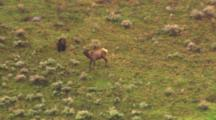 Grizzly Bear Attacks Injured Bull Elk And Elk Drags Grizzly Bear Then Sprints Into River - Wide