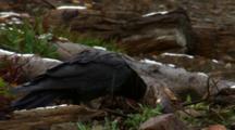 Raven Eats From Elk Calf Leg On Shore Of Lake - Tight